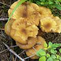 Wild Mushrooms 1 by Bernard Barcos