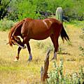 Wild Mustang by Barbara Zahno