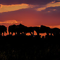 Wild Mustangs At Sunset by Tommy Anderson