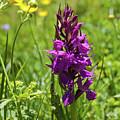 Wild Orchid by Aivar Mikko