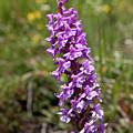 Wild Orchid From Hohenweg Hohbalmen Trek by Aivar Mikko