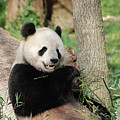 Wild Panda Bear Eating Bamboo Shoots While Leaning Against A Tre by DejaVu Designs