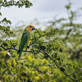 Wild Parrot by Alida Thorpe