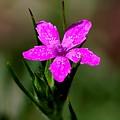 Wild Pink by David Lane