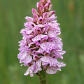 Wild Pink Spotted Orchid by Gill Billington