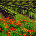 Wild Poppies And Vineyards by Garry Gay