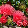 Wild, Red Fluffy Flowers  by Zenya Zenyaris