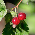 Wild Red Goosberries by Leif Sohlman