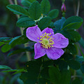 Wild Rose 1 by Ron Glaser