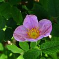 Wild Rose 4 by Ron Glaser