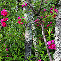 Wild Rose In Sumac by Thomas R Fletcher