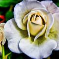 Wild Rose by Mariola Bitner