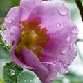 Wild Rose by Shannon Gresham