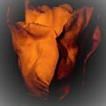 Wild Rose by Steven Natanson
