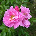 Wild Roses by Melissa Parks