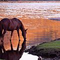 Wild Salt River Horse At Saguaro Lake by Dave Dilli