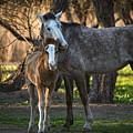 Wild Salt River Horse Love by Dave Dilli