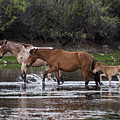 Wild Salt River Horses River Walk by Dave Dilli