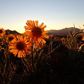 Wild Sunflowers Of Buena Vista by Lora Louise