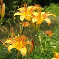 Wild Tiger Lilies by Brett Winn