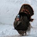 Wild Tom Turkey In Winter by Peg Runyan