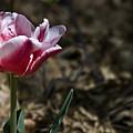 Wild Tulip by Teresa Mucha