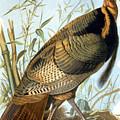 Wild Turkey by Granger