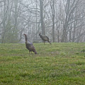 Wild Turkey Grazing At Dawn by Douglas Barnett