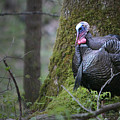 Wild Turkey Great Smoky Mountains National Park by Brian M Lumley
