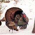 Wild Turkey Parade Print by Gwen Gibson