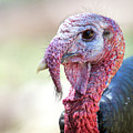 Wild Turkey Portrait by Judi Dressler