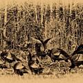 Wild Turkeys by Bill Cannon