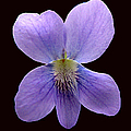 Wild Violet On Black by J M Farris Photography