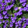 Wild Violets  by Aivar Mikko