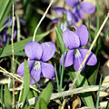 Wild Violets by George Jones