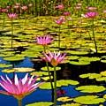 Wild Water Lilies 3 by Joe Wyman