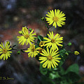 Wild Yellow Flowers by Tom Janca