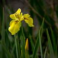 Wild Yellow Iris by Robert Bales