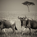 Wildebeest 8947b by Jeff Grabert
