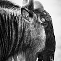 Wildebeest by Adam Romanowicz