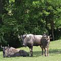 Wildebeest by Judy Whitton