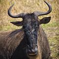 Wildebeest Taking A Break by Darcy Michaelchuk