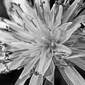 Wildflower 5 Black N White by Belinda Cox