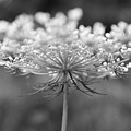 Wildflower II by Phillippe Diederich