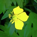 Small Sundrops Flower by Linda Chambers