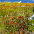 Wildflower Meadow With Indian Paintbrush by John Trax