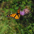 Wildflower Monarch by Robyn Stacey