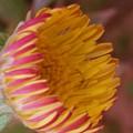 Wildflower by Nilu Mishra