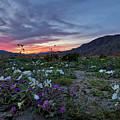 Wildflower Super Bloom Sunset In Anza Borrego Desert by Sam Antonio Photography