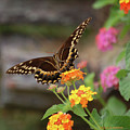 Wildflower Swallowtail by DigiArt Diaries by Vicky B Fuller